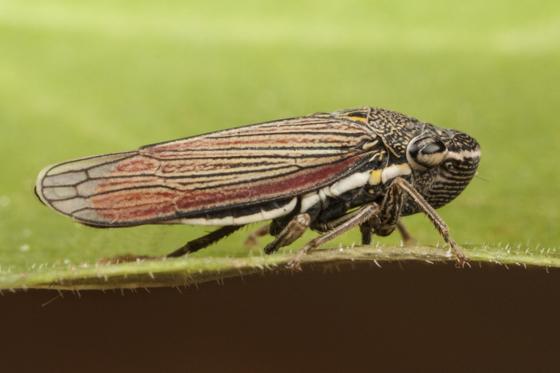 Leafhopper - Cuerna yuccae