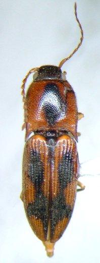 Elaterid - Aeolus mellillus