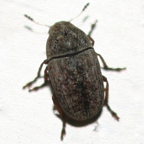 Curculionoidea? - Trigonorhinus limbatus