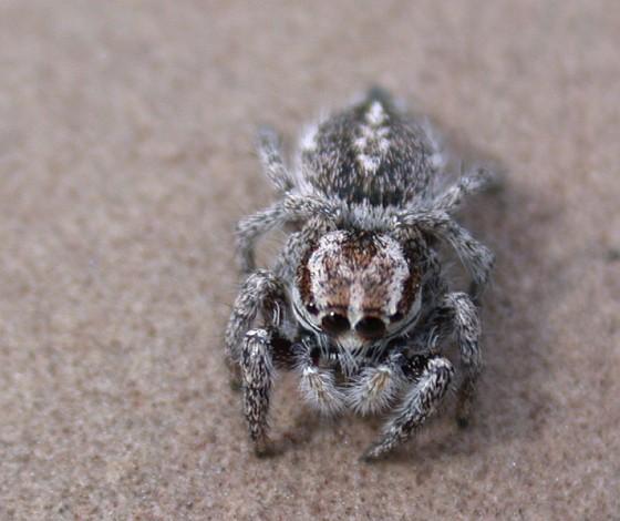 Habronattus cognatus - female