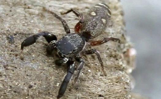 Jumping Spider - Metacyrba punctata - male