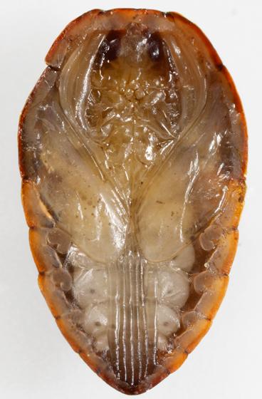 net-winged midge pupa - Philorus