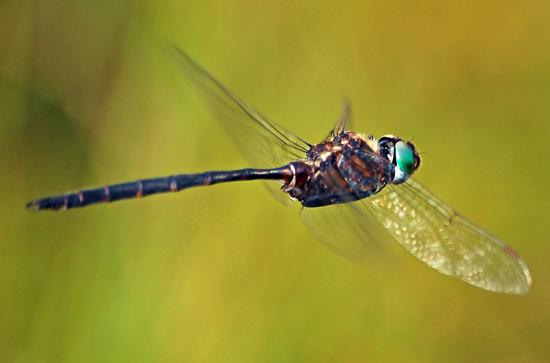 Incurvate Emerald in flight - Somatochlora incurvata - male