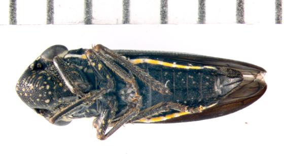 Cicadellidae, ventral - Cuerna