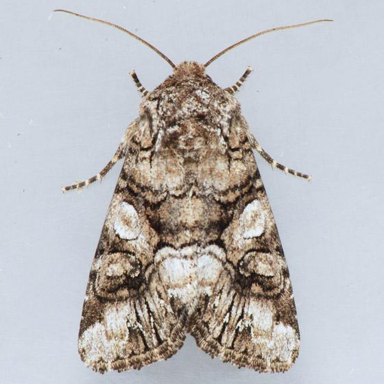 10317 Capsule Moth  - Hadena capsularis