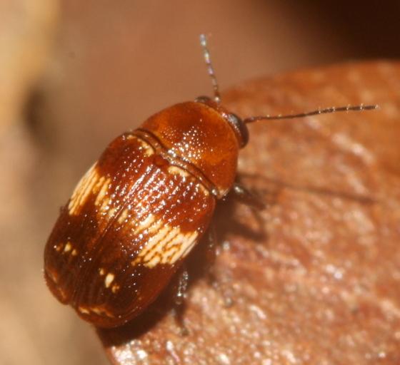 Small beetle - Cryptocephalus