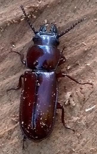 Unknown beetle - Neandra brunnea