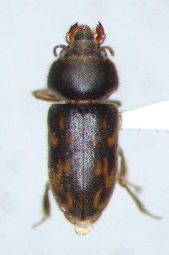 Heterocerus - Heterocerus angustatus - male