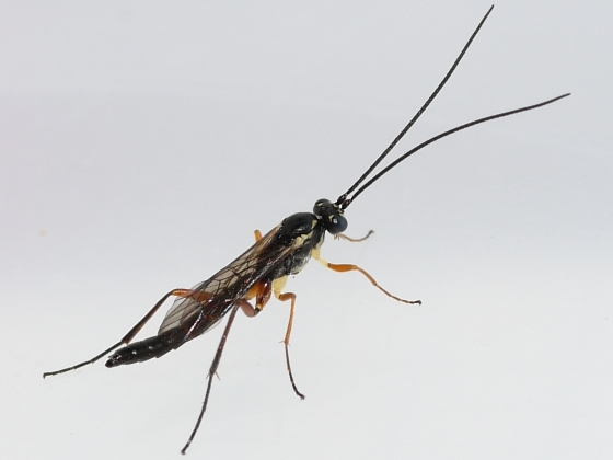 wasp - male
