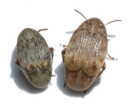 Seedweevil? - Bruchidius terrenus