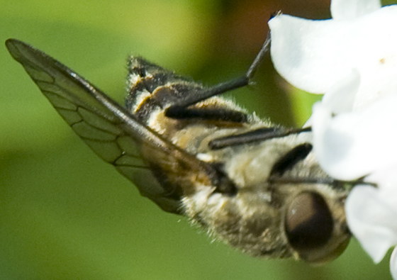 horse fly or flower fly? - Stonemyia