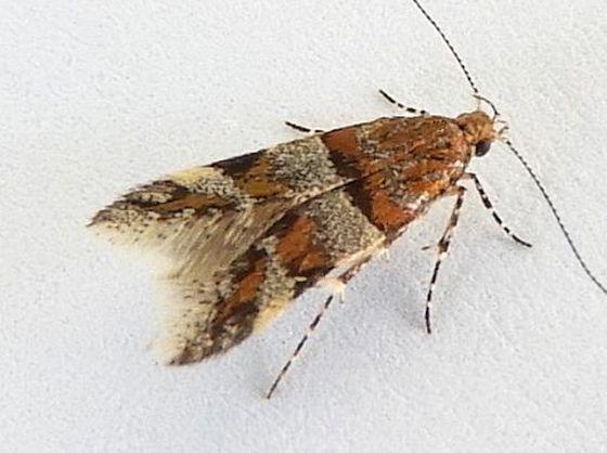 Arizona Moth - Theisoa multifasciella