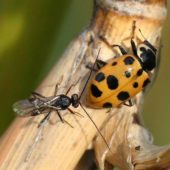 Lady Beetle and Wasp - Dinocampus coccinellae
