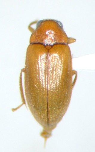 Ptilodactyla angustata - male