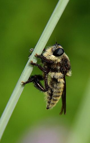 Robber Fly - Mallophora fautrix