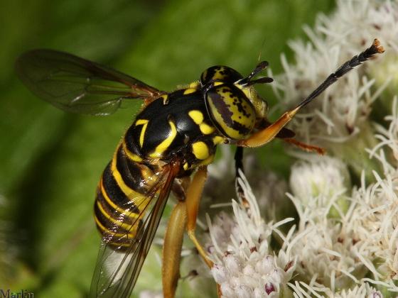 Syrphidae - Spilomyia longicornis - male