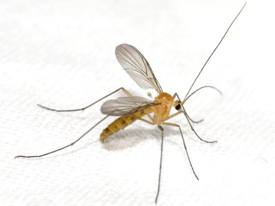 fungus gnat - Macrocera