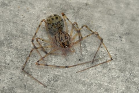 Spider - photographed in backyard in Bellrose, Queens, NY - Scytodes thoracica