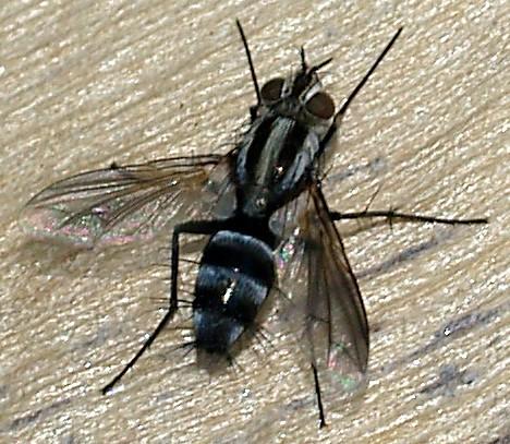 Pena Blanca Lake Fly - Vanderwulpia sequens