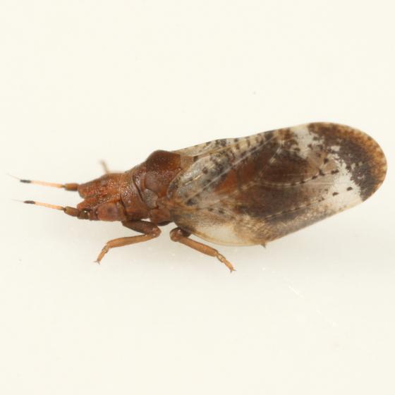 Livia bifasciata