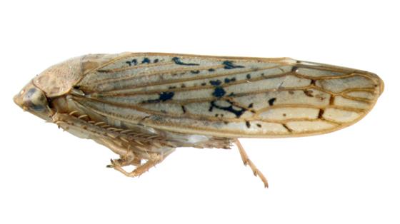 Cicadellidae, lateral - Ponana rubida - female