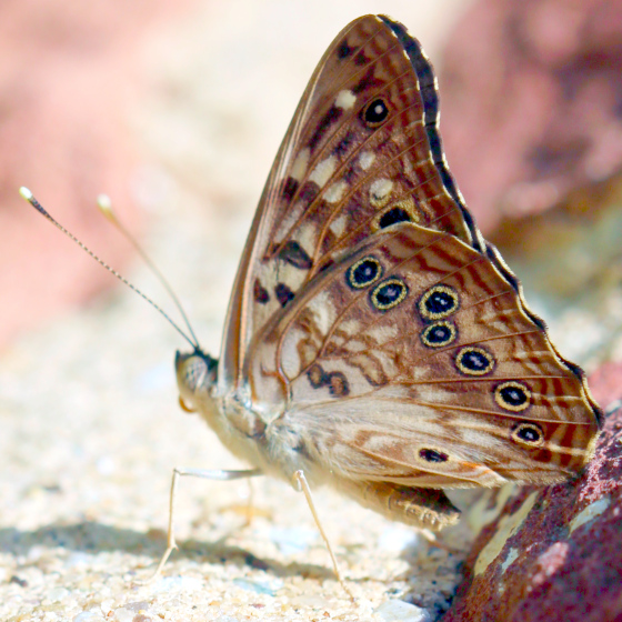 Spotted Butterfly - Asterocampa celtis