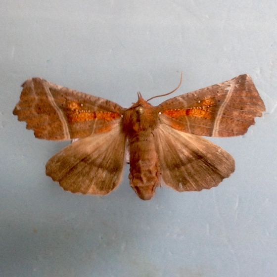 Unknown moth from Kentucky - Scoliopteryx libatrix