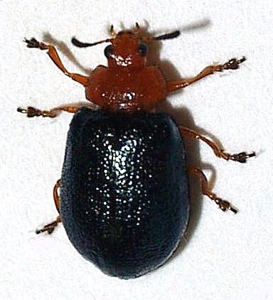 Leaf beetles on Salix - Plagiodera arizonae