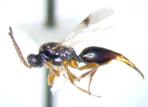 Proctotrupid - Hormoserphus clypeatus - female