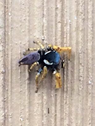 Blue and Gold Spider - Phidippus arizonensis