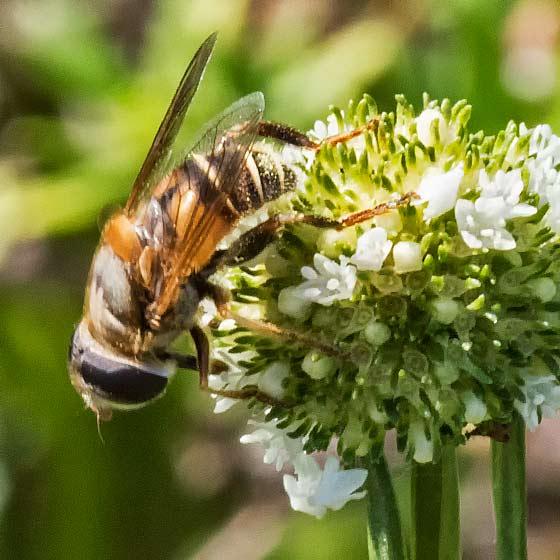 unknown bee fly - P160730-7459 - Palpada vinetorum