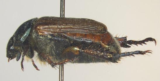 Scarabaeidae, lateral - Strigoderma arbicola