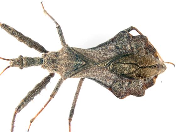 Reduviidae, maybe Sinea diadema, dorsal - Sinea diadema