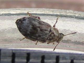 Xerasia grisescens (Byturidae) - Xerasia grisescens