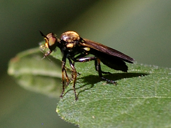 Robber Fly - Eudioctria sackeni - female