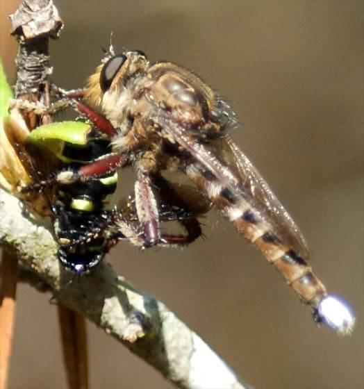 Robber Fly with Prey - Promachus quadratus