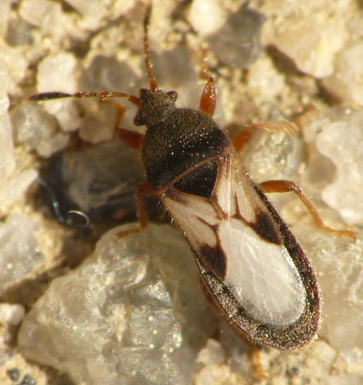 Chinch Bug - Blissus leucopterus