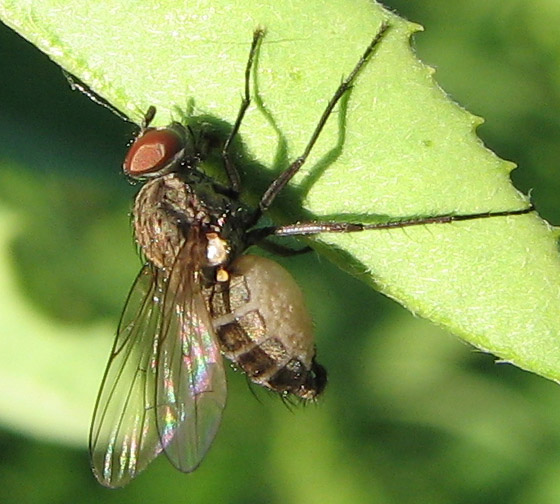 Bloated Fly