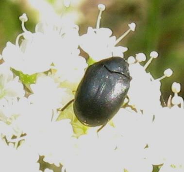 Phalacridae? - Orphilus subnitidus