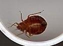 Unidentified tick-shaped bug - Cimex lectularius
