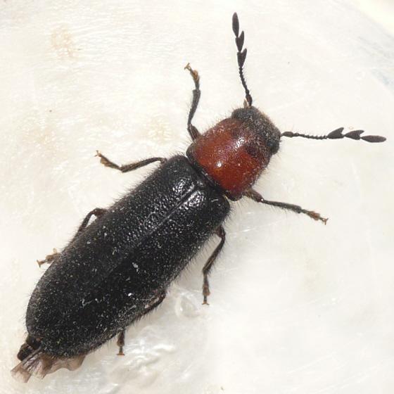 Checkered beetle - Neorthopleura thoracica