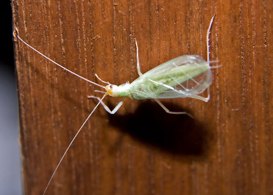 Tree Cricket - Oecanthus fultoni - male