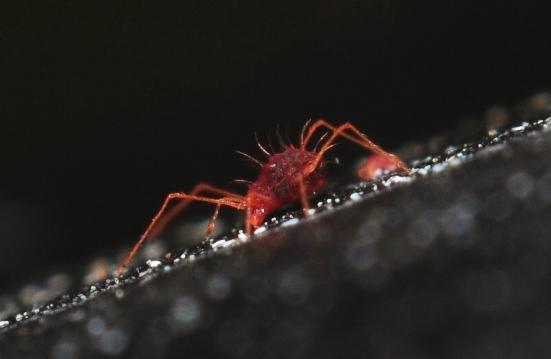 Spider Mite (Petrobia sp.) - Petrobia