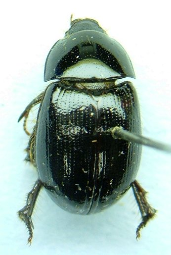 Hybosorus - Hybosorus roei