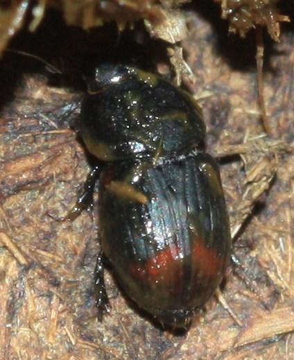 Bison dung beetles - Aphodius haemorrhoidalis