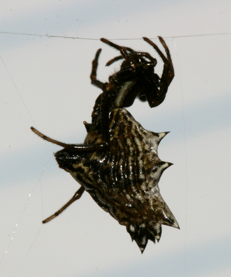 Micrathena sp. - Micrathena gracilis