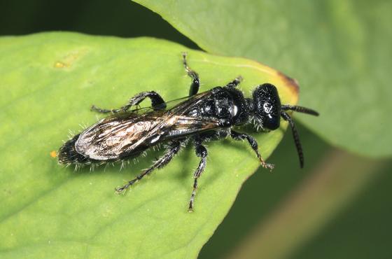 Wasp - Tiphia