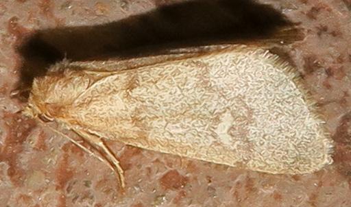 Noctuidae - unidentified - Narthecophora pulverea