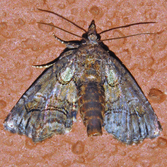 Pygmy Paectes - Hodges#8959 - Paectes pygmaea