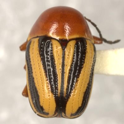 Cryptocephalus g. gibbicollis Haldeman - Cryptocephalus gibbicollis